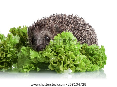 Hedgehog in lettuce leaves isolated on white background - stock photo
