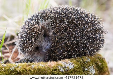 Hedgehog in natural habitat - stock photo