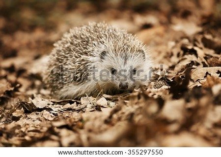 Hedgehog in the fallen leaves - stock photo