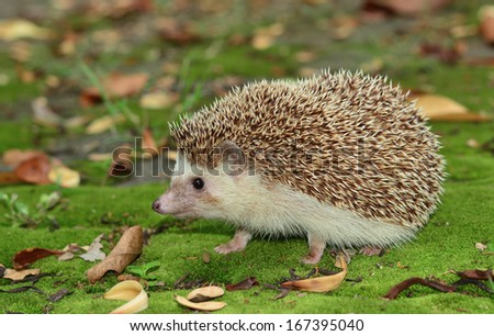 Hedgehog in the field - stock photo