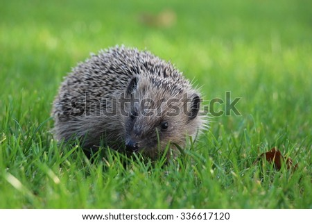 Hedgehog in the Grass - stock photo