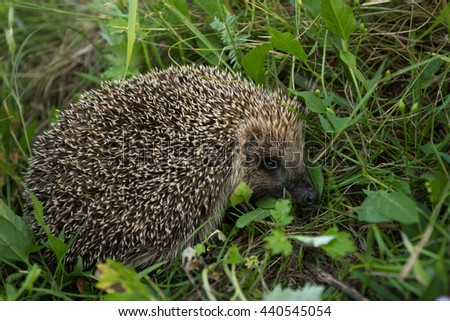 Hedgehog in the grass. - stock photo