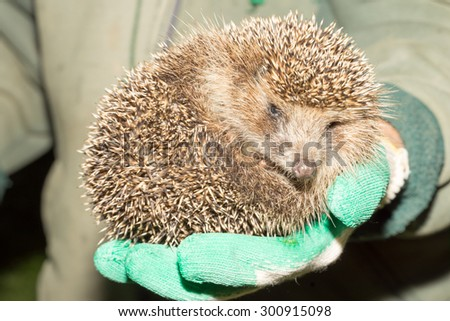 hedgehog in the hands of - stock photo