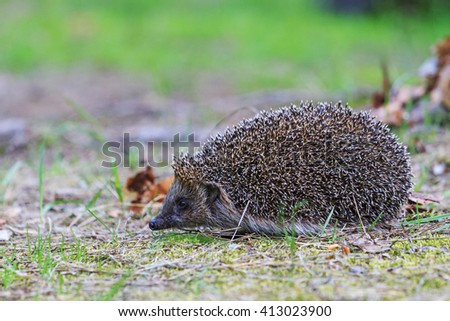 Hedgehog is the grass, prickly animal awoke from hibernation - stock photo