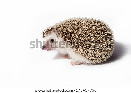 Hedgehog isolate on white background - stock photo