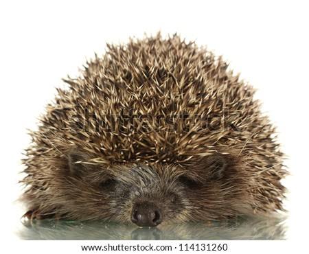 Hedgehog, isolated on white - stock photo