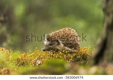 Hedgehog, ježek  - stock photo