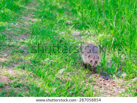 Hedgehog on a forest path - stock photo