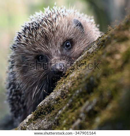 Hedgehog on a tree in the woods - stock photo