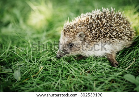 Hedgehog on a walk in the woods