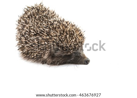 Hedgehog on a white background