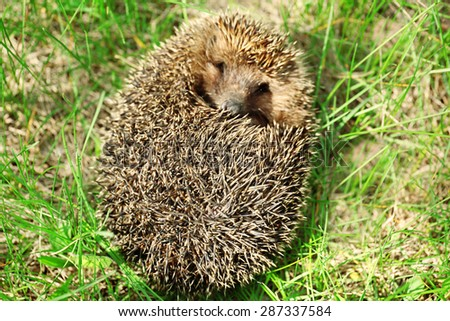 Hedgehog on green grass outdoors