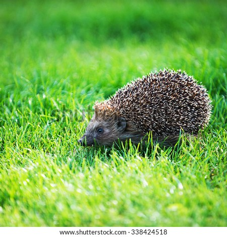 hedgehog on green lawn in backyard - stock photo