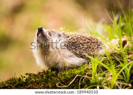 hedgehog on moss - stock photo