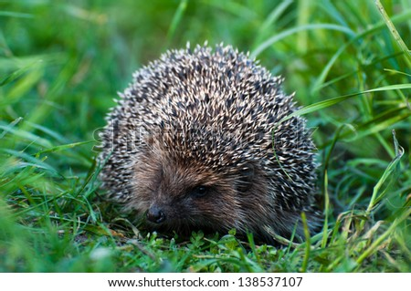 Hedgehog on nature in summer