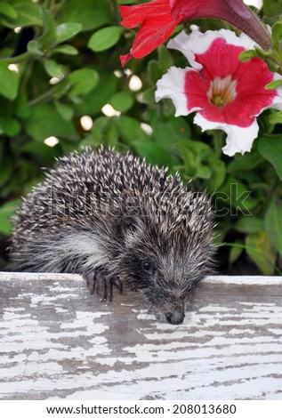 hedgehog on the fence among the flowers - stock photo