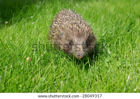 Hedgehog on the green grass