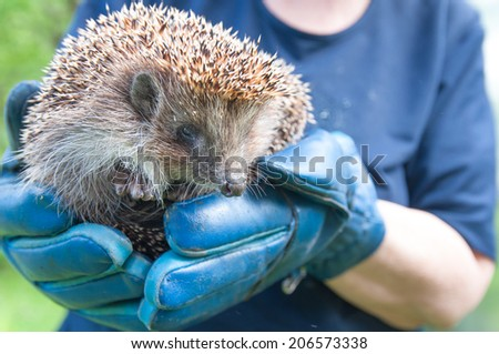 hedgehog on the human arms - stock photo