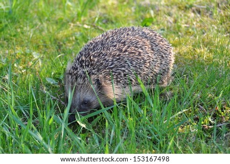 Hedgehog on the lawn