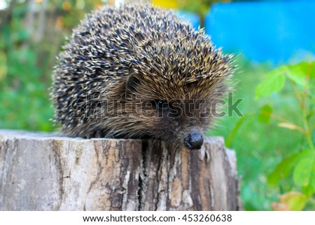 Hedgehog on the log - stock photo