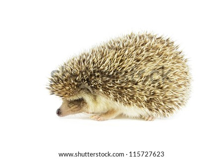 hedgehog on white