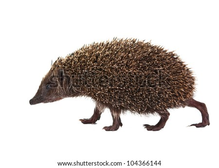 Hedgehog on white background - stock photo