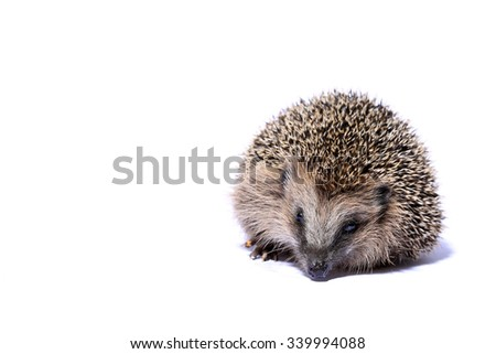 hedgehog on white background looking into camera