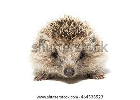 Hedgehog on white background, view to the camera, Russia, village, summer
