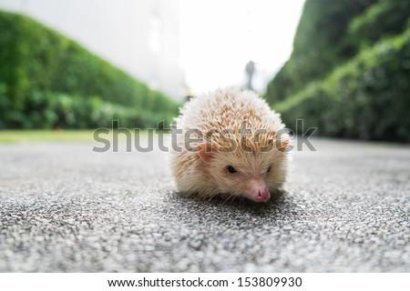 Hedgehog outdoor - stock photo