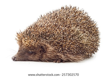 Hedgehog side view isolated on white background. - stock photo