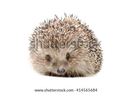 Hedgehog sitting isolated on white background - stock photo