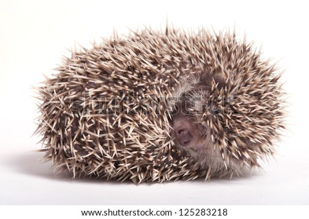 Hedgehog sleeping isolate on white background - stock photo