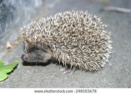 Hedgehog stands on the asphalt path