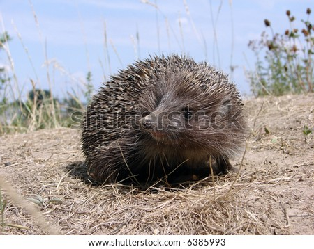 Hedgehog walking in the grass