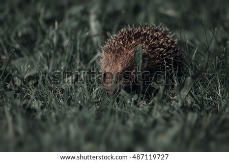 hedgehog walks on a grass