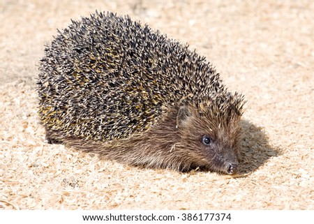 hedgehog whole profile side view closeup shot - stock photo