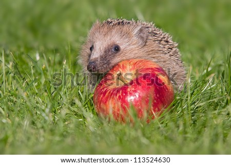 hedgehog with an apple