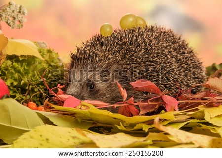 Hedgehog with grapes on leaves closeup - stock photo