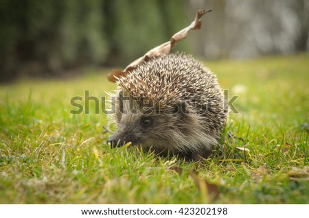 Hedgehog with leaf