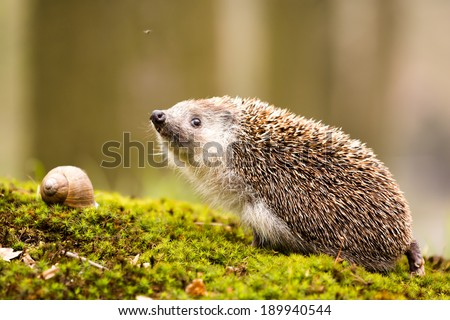 hedgehog with snail - stock photo