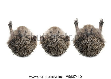 Hedgehog with the raised hand on a white background - stock photo
