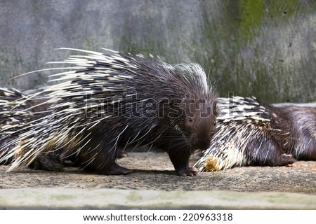 Hedgehogs are nocturnal - stock photo