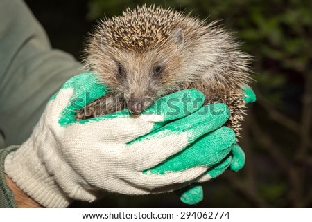 hedgehoog in arms - stock photo