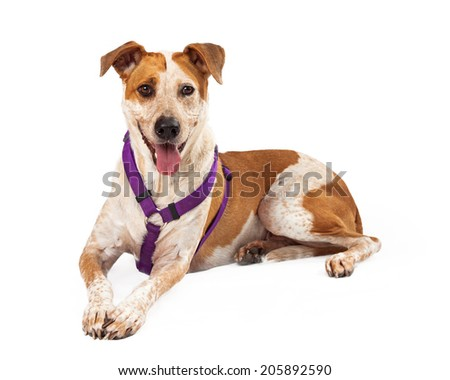 Heeler mixed breed dog wearing a harness and laying against a white backdrop - stock photo