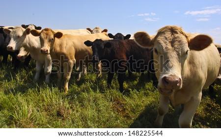 Heifers graze in a small herd along Kansas prairie - stock photo