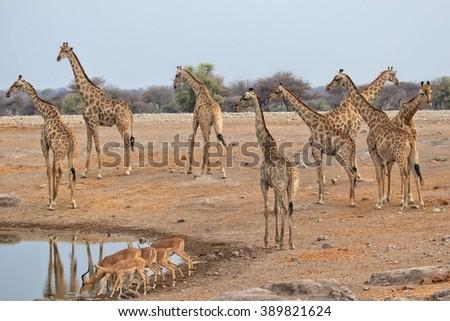height giraffes at etosha national park namibia - stock photo