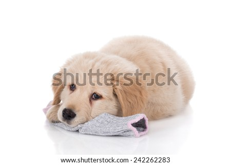 Height weeks old Golden Retriever laying down on sock on white background