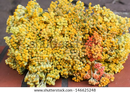Helichrysum arenarium is also known as dwarf everlast, and as Immortelle. - stock photo
