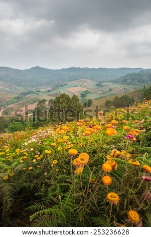 Helichrysum,  Everlasting flower field - stock photo