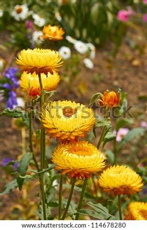 Helichrysums on flowerbed among various flowers (also known as Everlasting flowers) - stock photo